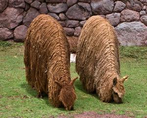 Alpaca Cam 233 Lido Andino Bolivia